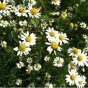 Fleurs de camomille matricaire - Ma Planète Beauté