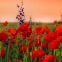 Fleurs de coqulicot - Ma Planète Beauté