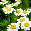Fleurs de Camomille Matricaire 50gr Ma Planète Beauté
