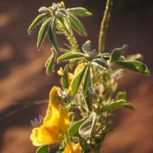 Henné neutre ou Cassia obovata 100gr.