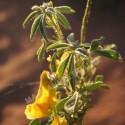 Henné neutre ou Cassia obovata