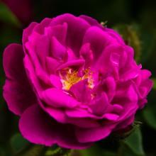 Poudre de Rose Indienne 100gr.