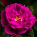 Poudre de Rose Indienne