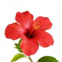 Poudre d'Hibiscus du Maroc