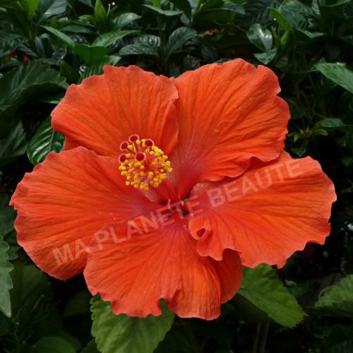 Hibiscus d'Inde - MA PLANETE BEAUTE