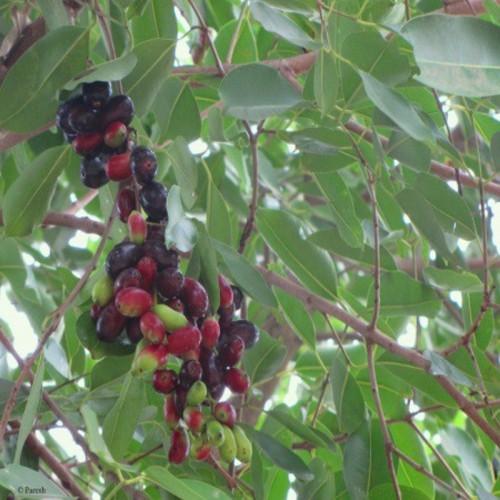 Fruits de Jamun - Ma Planète Beauté