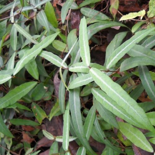 Anantmool (Poudre de Salsepareille Indienne) 100gr.
