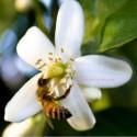 Hydrolat de Fleur d'Oranger Bio - Ma Planète Beauté