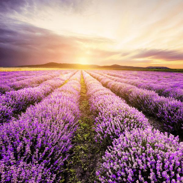 Fleurs de Lavande - MA PLANETE BEAUTE